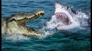 Unbelievable Crocodile Vs Shark   Who Will Be The Winner ?