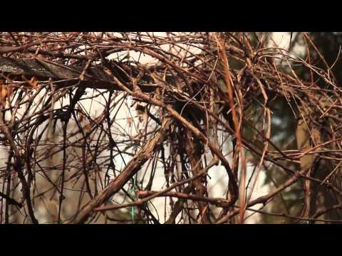 How to Prune Unruly Vines on a Grapevine : Pruning Tips