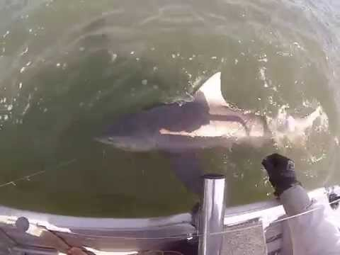 Bull Shark Fishing Broadwater - Gold Coast