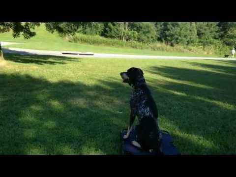 Dog reactive Bluetick Coonhound trained with Off Leash K9 Training, Columbia