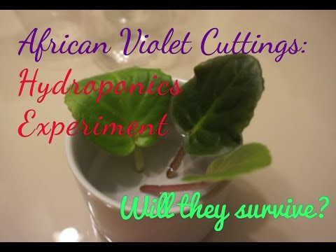 African Violet Cuttings: Hydroponics Experiment