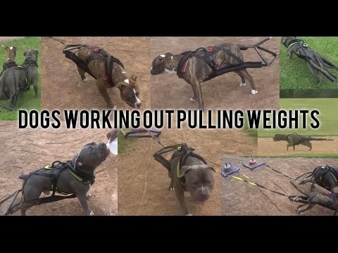 APBT and American Bully Working Out - Pulling Weights