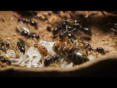 Xxx Mp4 Bloodthirsty Ants Decapitate Queen Empire Of The Desert Ants BBC Earth 3gp Sex