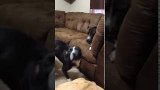 Hyper pitbull wants to play with her not so hyper older brother