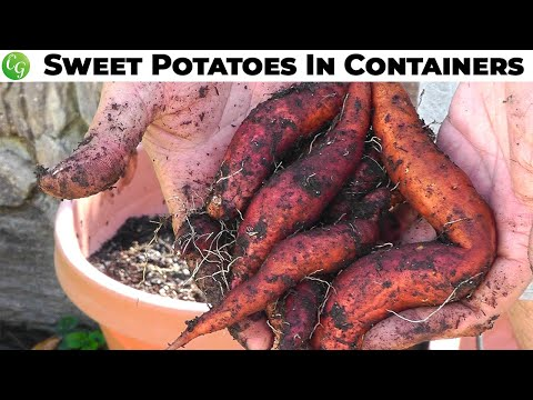 Growing Sweet Potatoes in Containers - Guide, Tips and Harvest