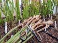 #5 Alte Schläuche abschneiden, was gibt es zu beachten   Fleischfressende Pflanzen   Green Jaws