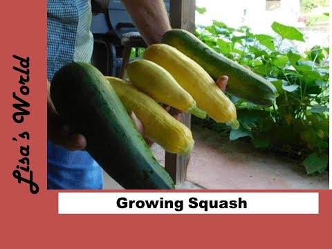 Zucchini - Cucumber and Tomato Garden  Update