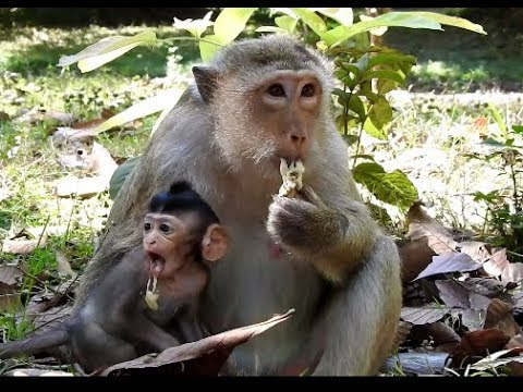 No vomiting........Baby , Bronco try to eat food but, World Monkey.