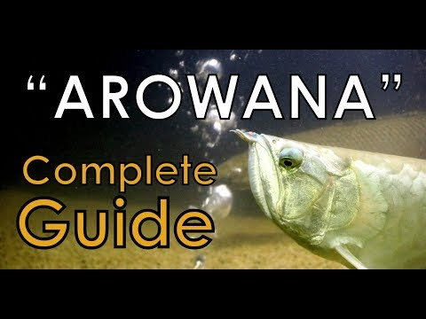 Silver Arowana Care: The Complete Guide - Must Watch This Before You Buy [HD]