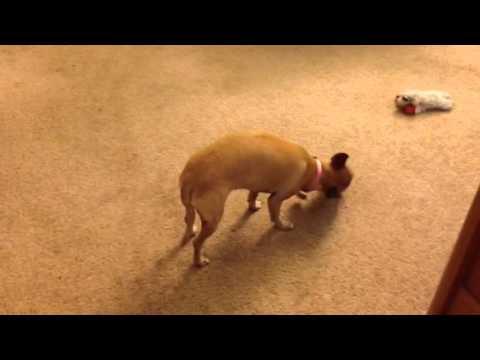 My little dog devours a chicken bone