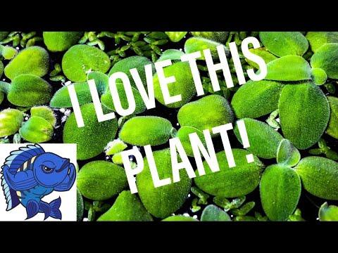 FAST-GROWING AQUARIUM PLANTS FROM AQUARIUM CO-OP!