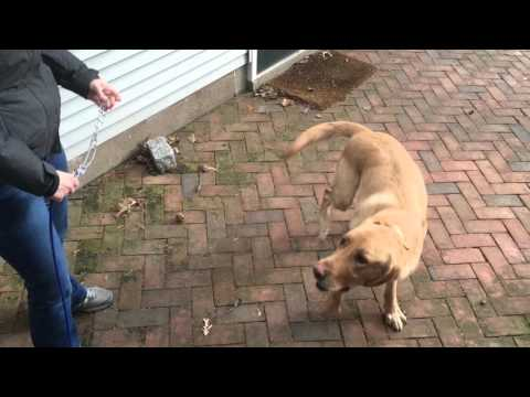 Dog Reacts To Prong Collar and Shock Collar