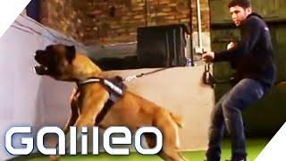 Der Größte Pitbull Der Welt Galileo Prosieben Kênh Giải Trí