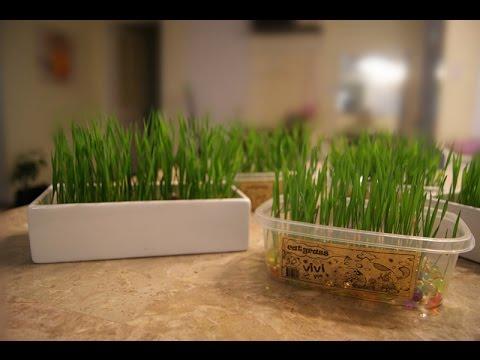 ViviPet Soil-Free Cat Grass - How to grow cat grass