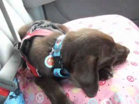 Faiths journey to being a diabetic alert dog!