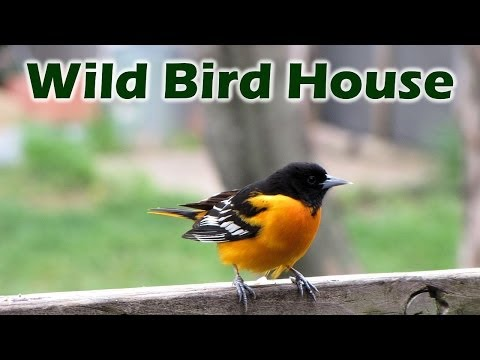 It's Easy to Attract Orioles, Give Them Their Favorite Foods, Water & Nesting Material