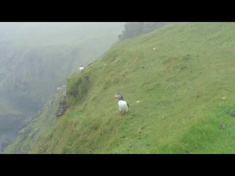 Puffins 15/07/2017 Hermaness. Unst Shetland Islands