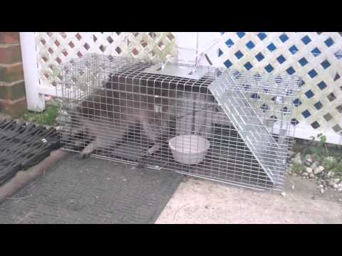 Raccoon Jailbreak Attempt!