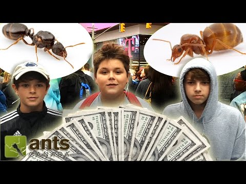 American Ant Challenge | The Ants of New York