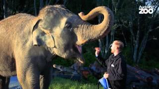 Zoo Tales - Anjalee and Burma's elephant walk around the Zoo