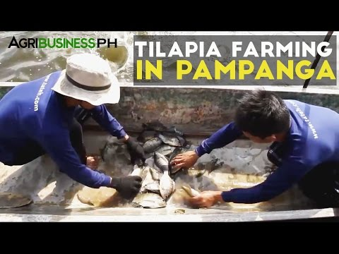 High income in tilapia growing | Agribusiness How It Works