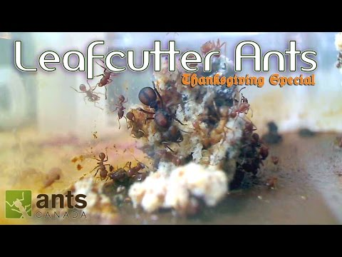 OMG! Leafcutter Ants WILL BLOW YOUR MIND | Thanksgiving Special - Part 1