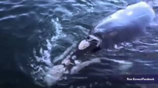 Whale appears to ask boaters for help, wave