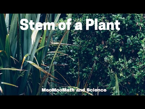 Function of stem in a plant
