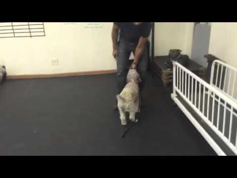 Teaching Recall, Place, Sit and Down with two dogs from same Household