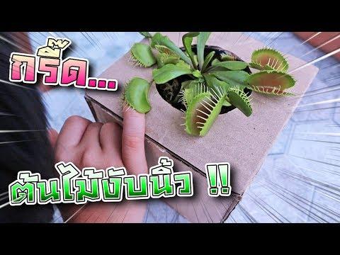 Xxx Mp4 แกล้งซิลค์ ต้นไม้งับมือ นิ้วพี่เซนจะเหลือมั๊ย Venus Flytrap DING DONG DAD 3gp Sex