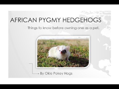 African Pygmy Hedgehog Care Guide
