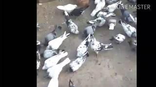 Ravi chuhanke kabootar bazi Videos - 9tube tv