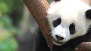 See Wild Giant Pandas in China with Natural Habitat Adventures