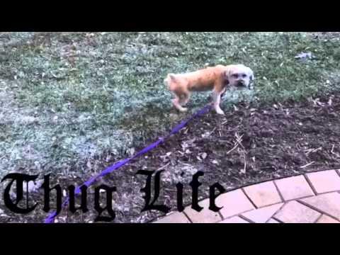 Thug Life Yorkie