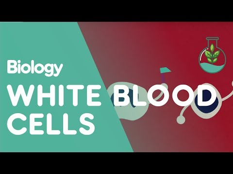 What Are White Blood Cells | Biology for All | FuseSchool