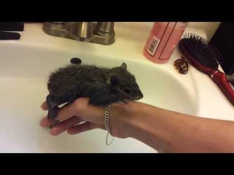 Baby squirrel Sugar taking her first bath