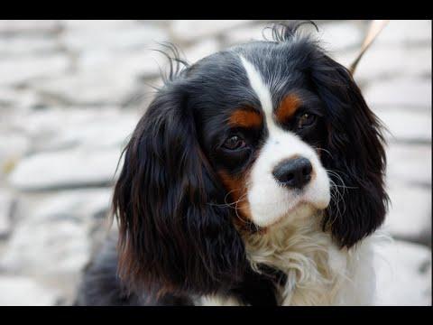 Cavalier King Charles: Leash Training