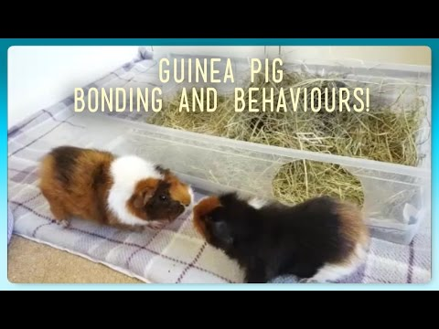 HOW TO: Introduce and Bond Guinea Pigs!   Squeak Dreams