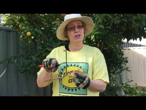 Save Our Citrus Melbourne: Pruning out gall wasp.