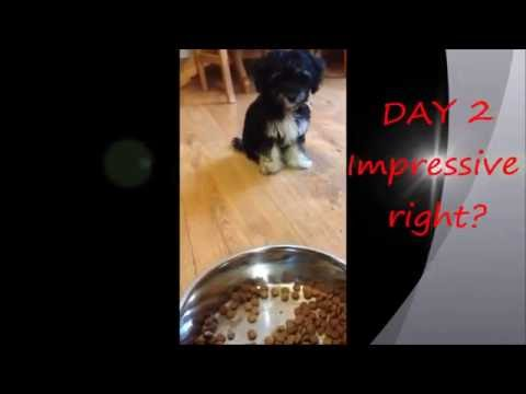 Buddy  the hungriest pup / how to prevent food aggression / puppy training