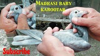 Green VS Red eye Madrasi kabootar in howrah by Raza photography