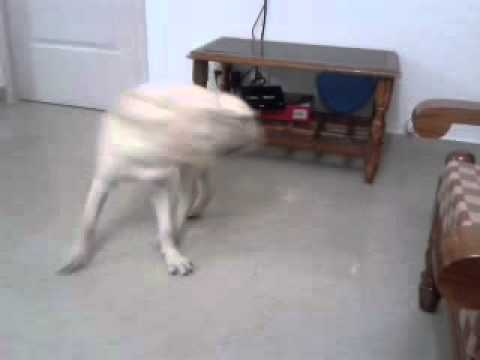 lab trying to bite his own tail