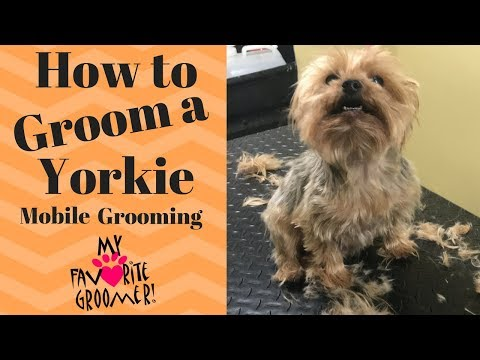 How to Groom a Yorkie (Edward)