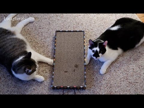 Cats React To Catnip On The Cat Scratcher