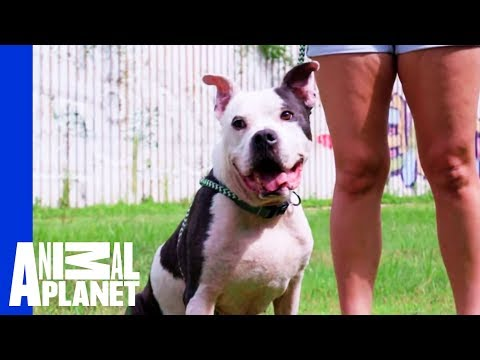 Waiting for a Forever Home: Mr. McGee | Pit Bulls & Parolees