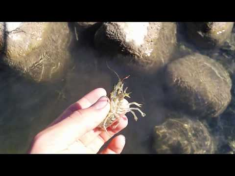 How to catch and hold a Crayfish.