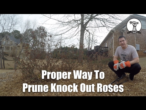 How to Prune Knockout Roses in Winter