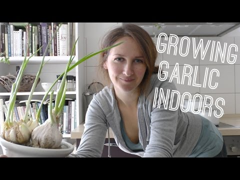 Garlic - Grow Garlic (greens) Indoors on How to Grow a Garden with Scarlett