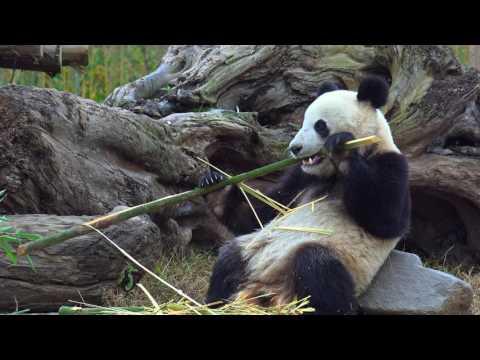 Why panda eat bamboo? 판다는 왜 대나무를 먹을까요?