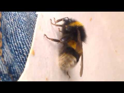 Bumble Bee Rescue